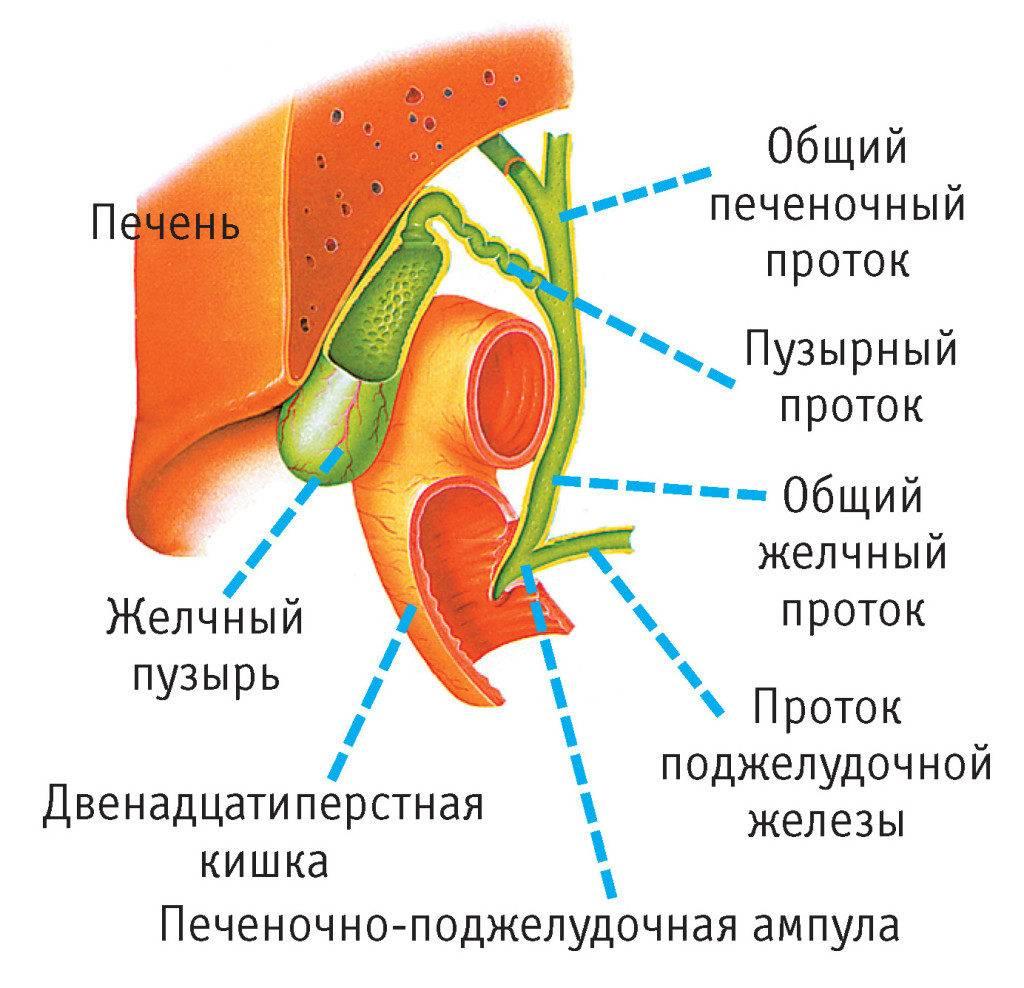 строение желчевыводящих органов