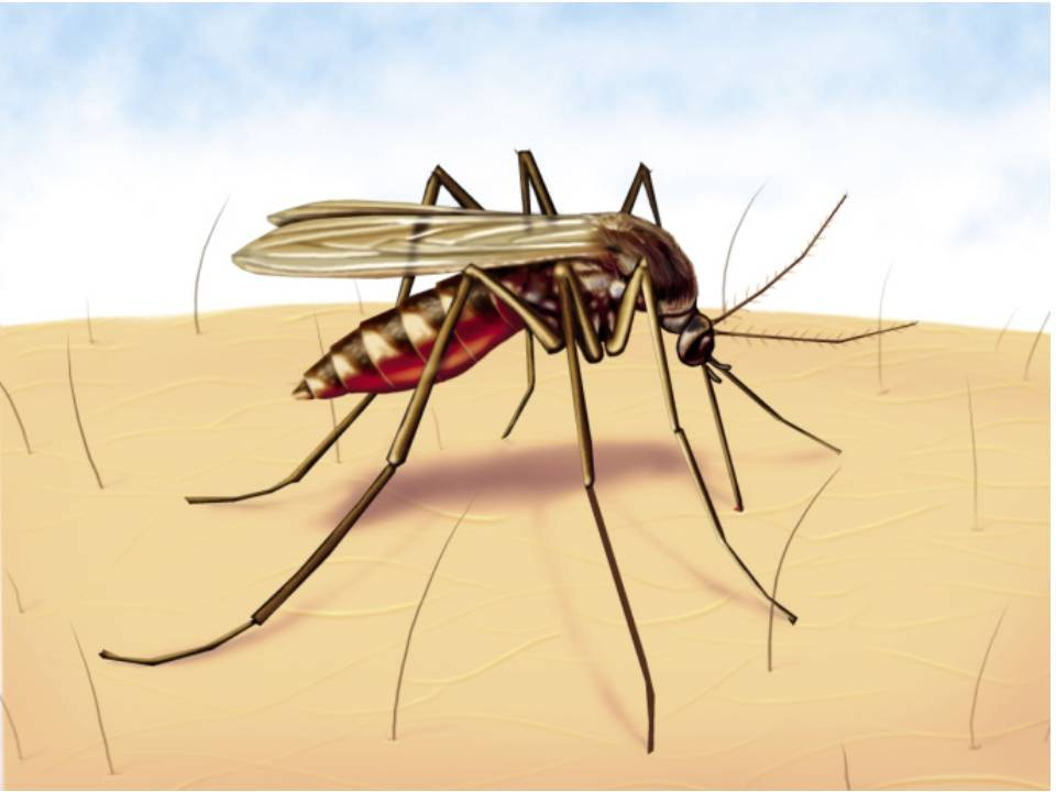 Малярийный комар может стать причиной гепатомегалии