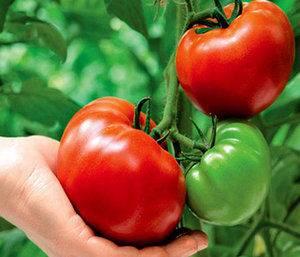 Какой вред помидоров для печени