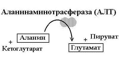Аспартатаминтрансфераза