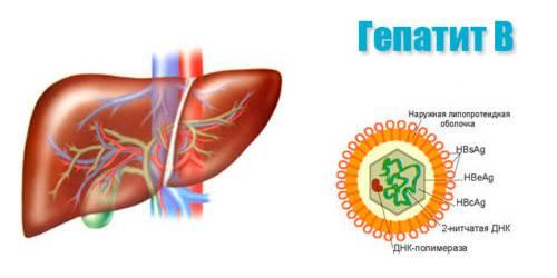 печень человека и клетка гепатита B