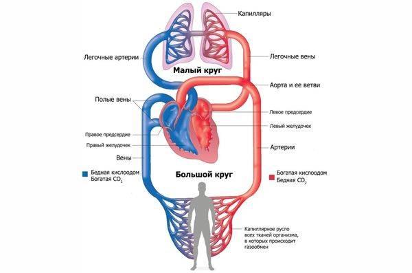Анатомические особенности кровообращения человека