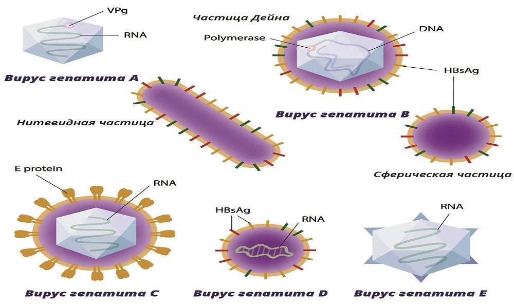 Гепатит и его разновидности