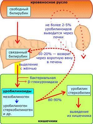 трансформация билирубина в кишечнике