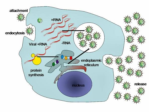 На изображении приведена схема репликации вируса гепатита С