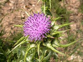 Расторопша пятнистая (Silybum marianum)