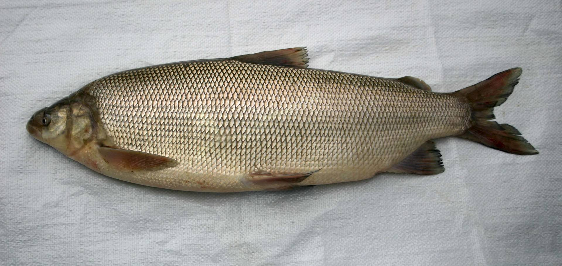 В какой рыбе нет описторхоза