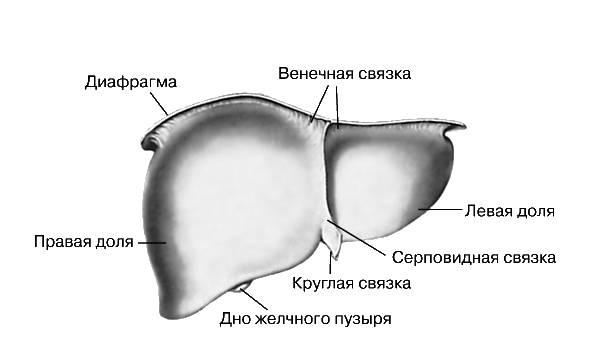 схематичное изображение печени с указанием важнейших зон