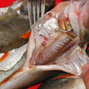 Описторхозная рыба