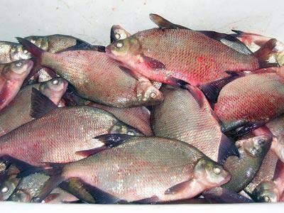 описторхоз в какой рыбе