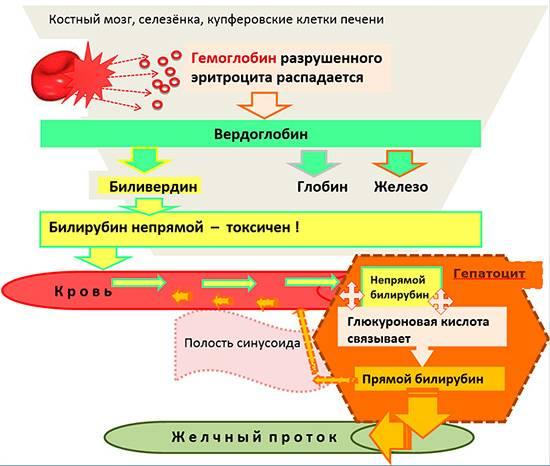 Как образуется прямой и непрямой билирубин